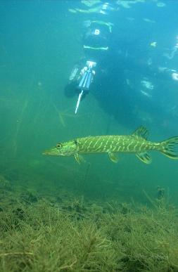 Действия при попадании в сеть на подводной охоте